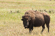 Bison, Tetons National Park