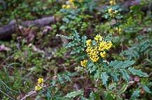 Oregon Grape - State Flower