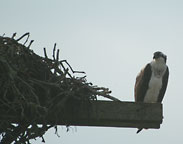 An Osprey at Nantucket
