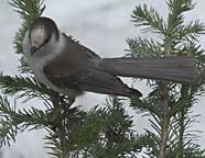 Grey Jay at Washington Pass, Cascades National Park, WA